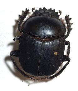 Resultado de imagem para escaravelho