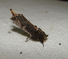 Schizura ipomoeae – Morning-glory Prominent Moth.jpg
