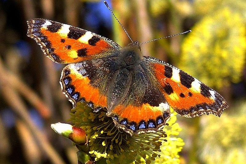 File:Schmetterling 1a neucc.jpg