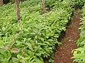 School garden at Mahiga Girls School (3503743175).jpg