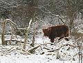 Schotse hooglander kalf.jpg