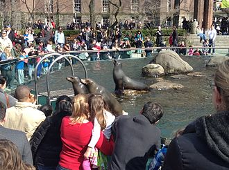 Sea lion - Sea lions entertaining a crowd in Central Park Zoo.