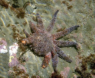 Regeneration (biology) - Sun flower sea star regenerates its arms