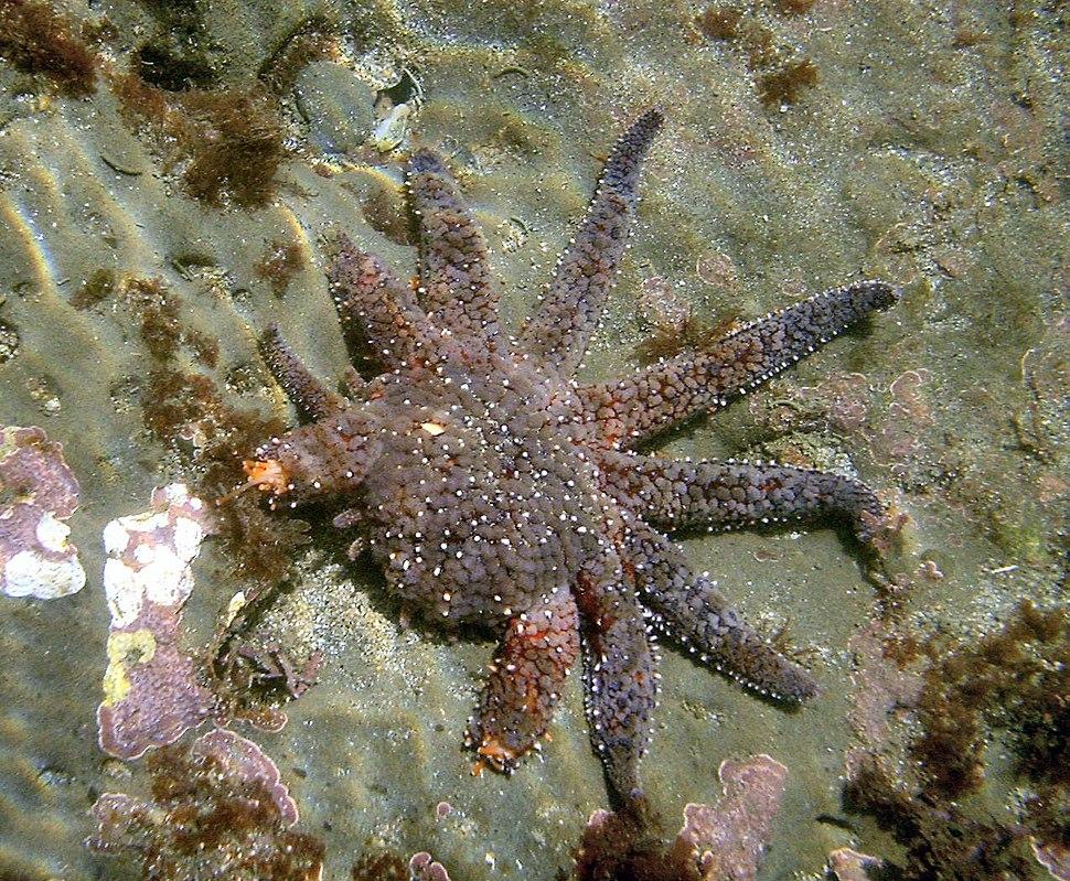 Sea star regenerating legs