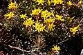 Sedum middendorfianum (Crassulaceae) (35721740356).jpg