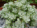 Sedum spathulifolium 'Cappe blanco' 1.JPG