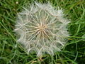 Seed-head of a goat's-beard flower - geograph.org.uk - 870686.jpg