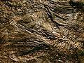 Seirocrinus subangularis.JPG