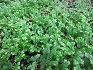 <i>Selaginella kraussiana</i> Species of clubmoss in the family Selaginellaceae