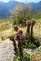Sempervivum tectorum plants.jpg