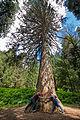 Sequoia Masjoan.jpg