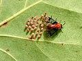 Sericoceros mexicanus (female laying eggs).jpg