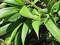 Setaria palmifolia - Flickr - peganum.jpg