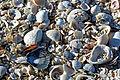 Shells, NPSPhoto, G.Gardner (9103314450).jpg