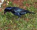 Shiny cowbird - Flickr - Lip Kee.jpg