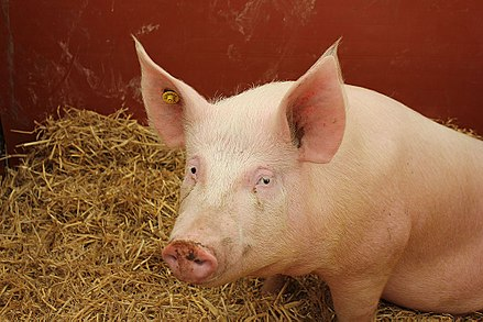A Large White, a breed commonly used in meat production Show Pig (18097041013).jpg