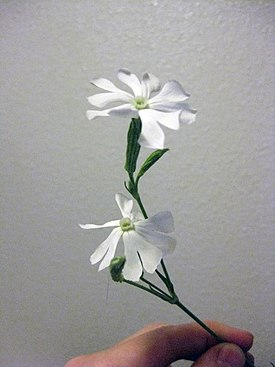 Silene capensis (flowering).jpg
