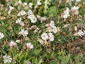 Silene uniflora (habitus).jpg