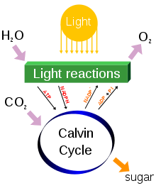 A diagram of photosynthesis processes, including income of water and carbon dioxide, illumination and release of oxygen. Reactions produce ATP and NADPH in a Calvin cycle with a sugar as a by product.