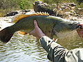 Sizeable Murray cod.JPG