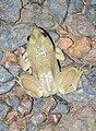 Skittering Frog Euphlyctis cyanophlyctis by Dr. Raju Kasambe DSCN0020 (10).jpg