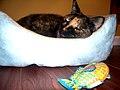 Sleeping tortoiseshell cat.jpg