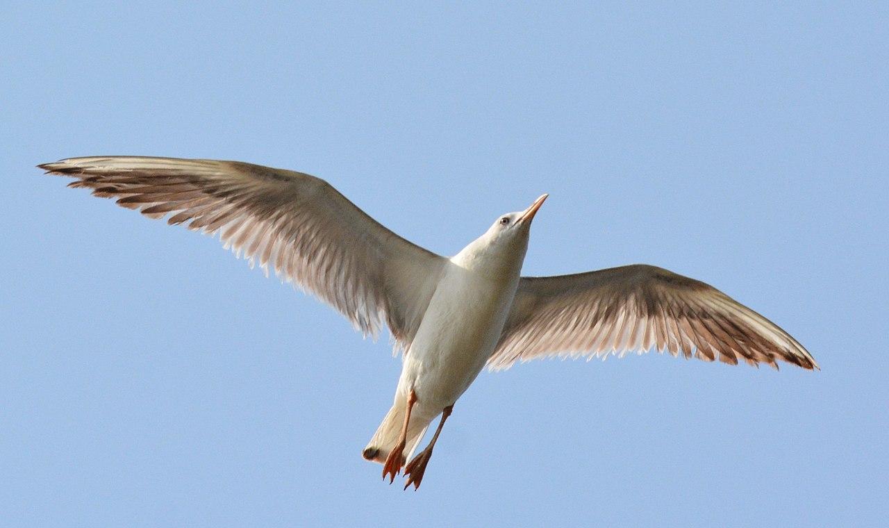 File:Slender-billed Gulls Chroicocephalus genei by Dr  Raju