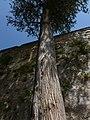 Slender tree (10287769833).jpg