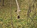 Slezská Harta (Leskovec nad Moravicí), strom okousaný bobrem.jpg