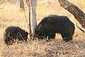 Sloth bear (11).jpg