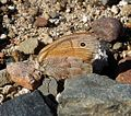 Small Heath. Coenonympha pamphilus. - Flickr - gailhampshire.jpg