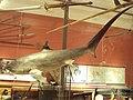 Small shark, Kelvingrove Museum. Glasgow - DSC06249.JPG