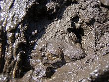 photo of a turtle climbing out of mud