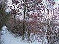 Snow covered berries - geograph.org.uk - 1658289.jpg
