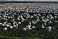 Snow geese - Fir Island - 05.jpg