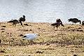 Snow goose (39501056504).jpg
