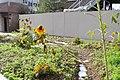Snowbound sunflowers, Columbia University (6435263805).jpg