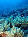 Soft coral gardens (6163694020).jpg