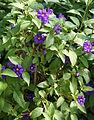 Solanum rantonnetii 01.jpg