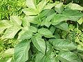 Solanum tuberosum-ALC-1-yercaud-salem-India.JPG