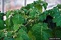 Solanum viarum 1673056.jpg