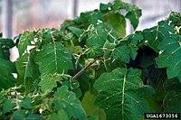 Solanum viarum 1673056
