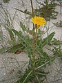 Sonchus arvensis 002.JPG