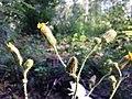 Sonchus arvensis subsp. arvensis sl3.jpg