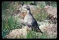 Sooty Grouse. Dated 11908 (highly doubtful). slide (5ef853e656bd463e9f7d2f5ec5c15dff).jpg