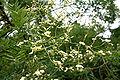 Sophora japonica JPG2Fe.jpg
