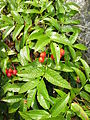 Sorbus sambucifolia 2.JPG