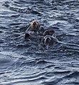 Southern sea otters (12340).jpg