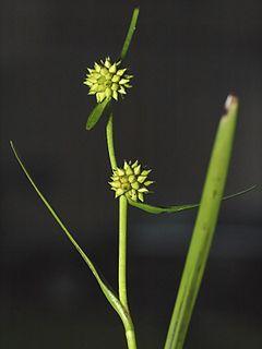 240px sparganium natans