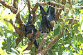 Spectacled flying foxes (Pteropus poliocephalus) - male, female & her young.jpg